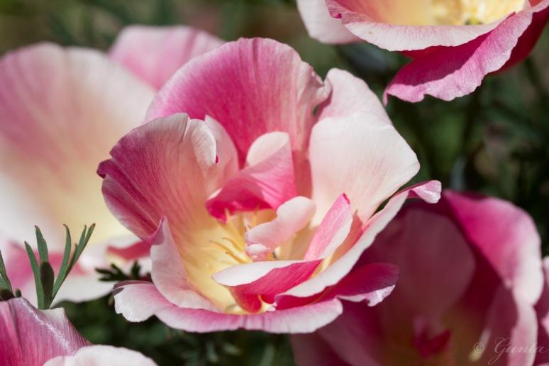 poppies-5576