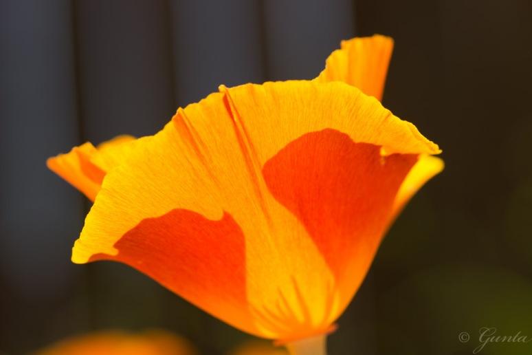 poppies-5634
