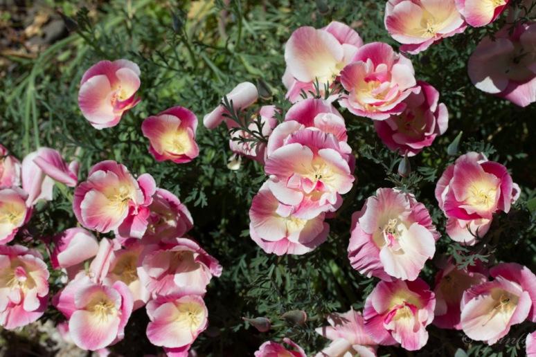 poppies-5645
