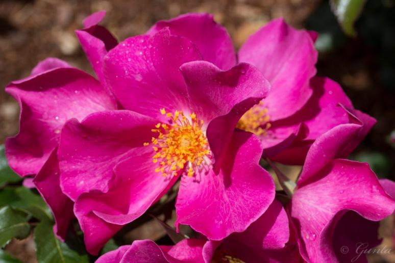 roses-5937