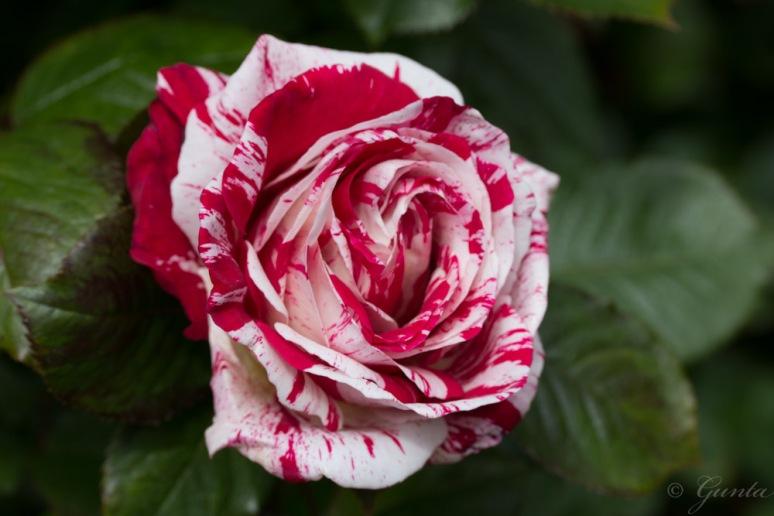 roses-5969