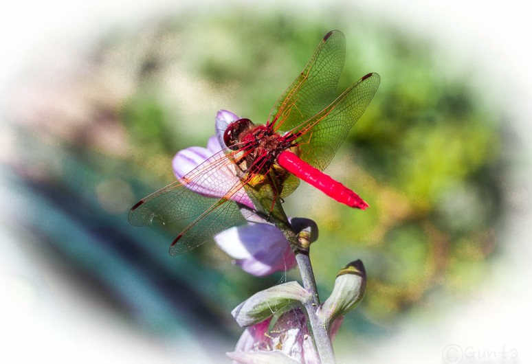 dragonfly-6681