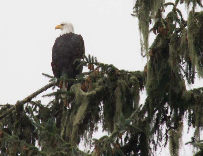 eagle-9850