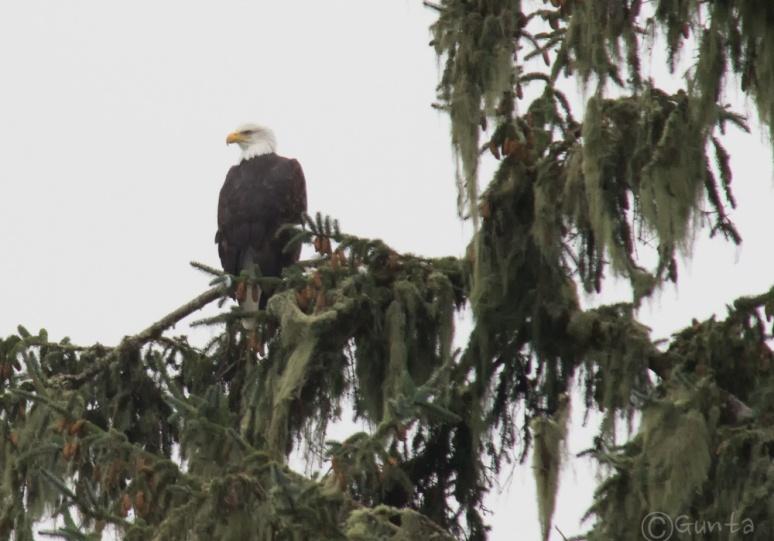 eagle-9853