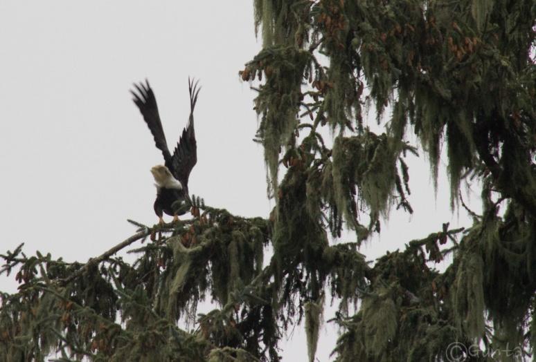 eagle-9856