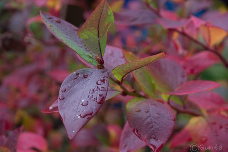 blueberry bush-0084