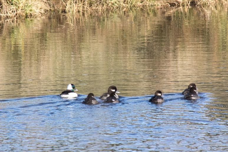 ducks-0503