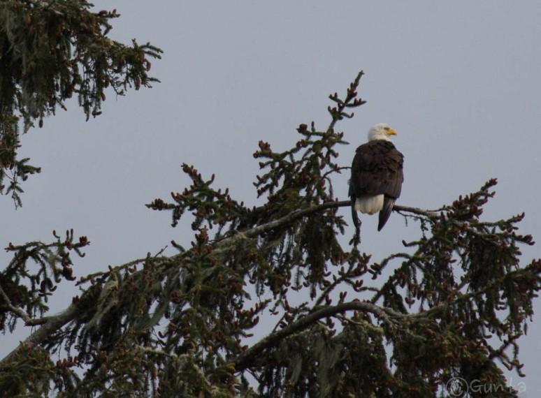 eagle-3233