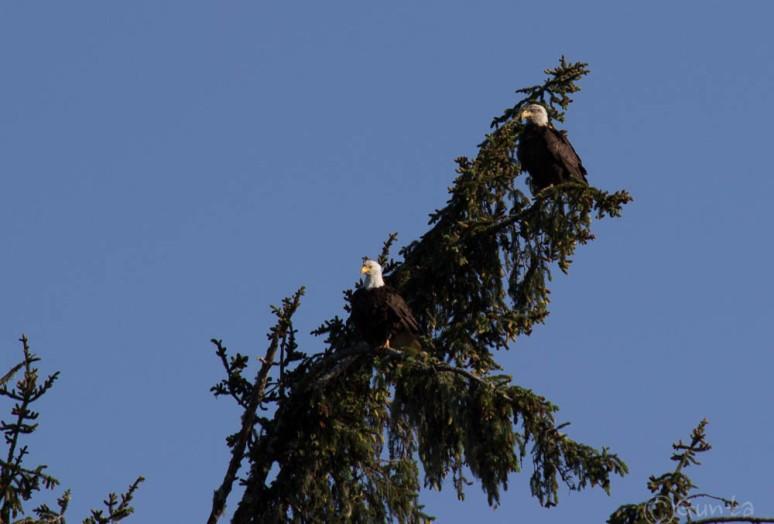 eagle-3627