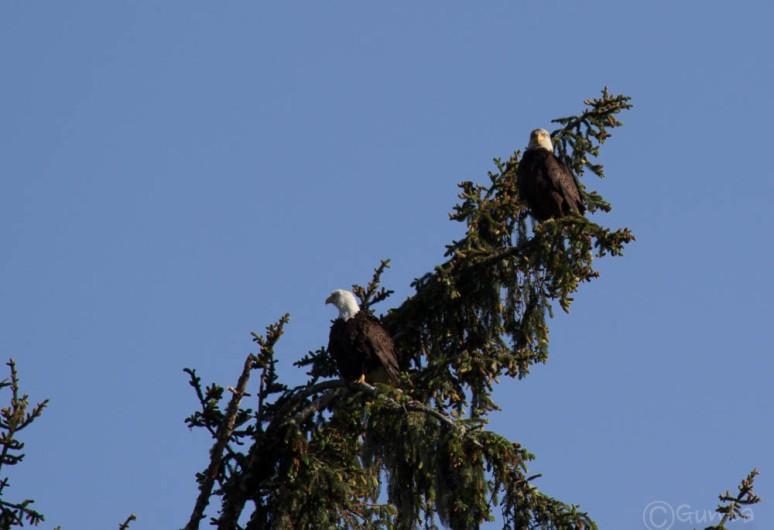 eagle-3645