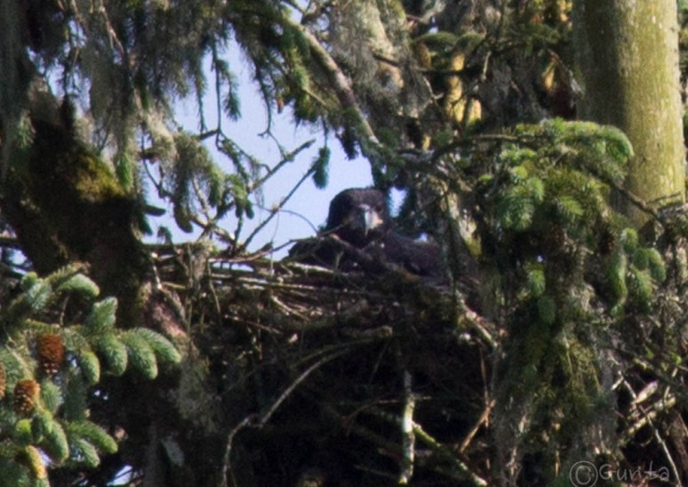 eagle-4017-2