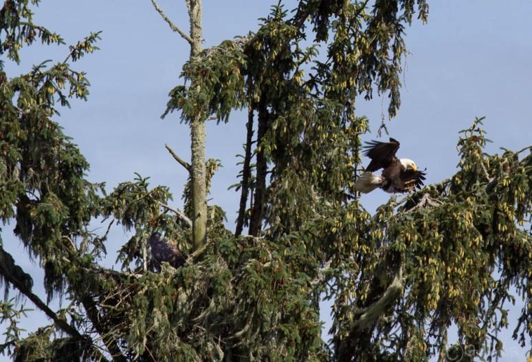 eagle-4836