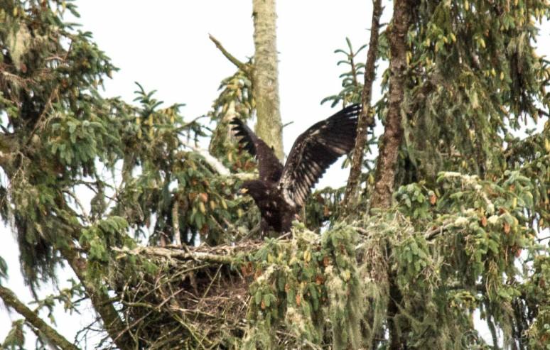 eaglet-4697