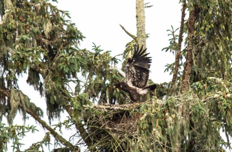 eaglet-4699
