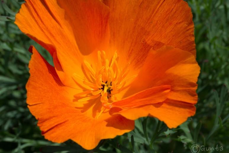 poppy-3676