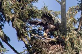 bald_eagle-5808