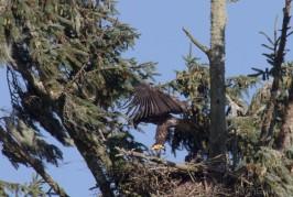 bald_eagle-5811