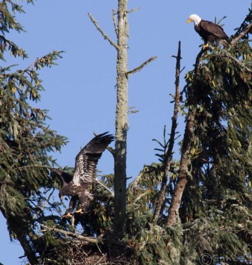 bald_eagle-5836