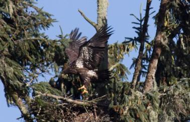 bald_eagle-5845