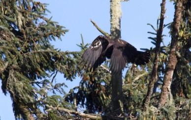 bald_eagle-5848