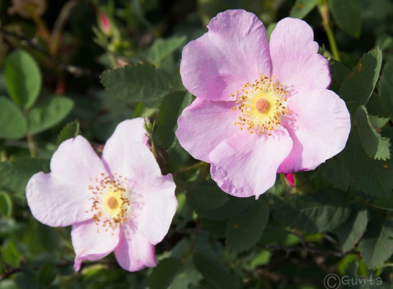 rose-5351