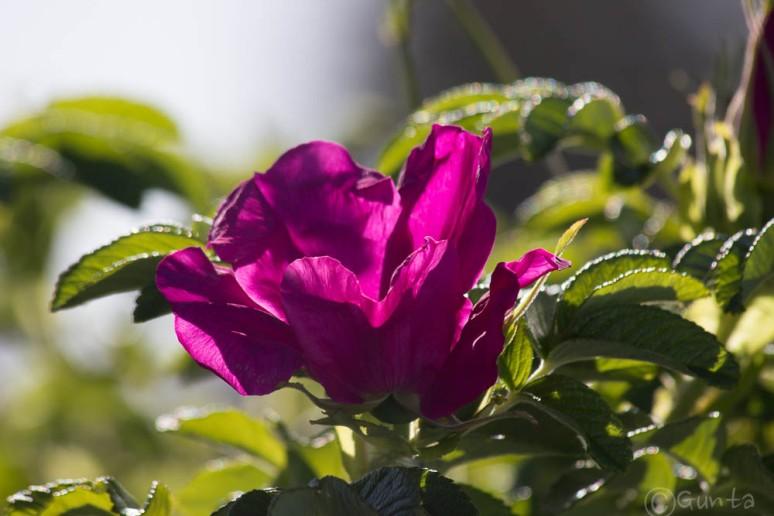 rose-5693