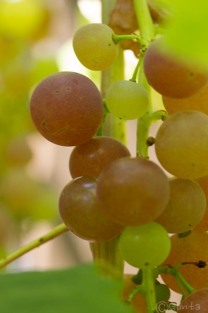 grapes-6757