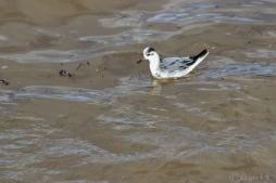 cute little phalarope masquerading as a gull