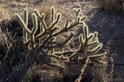 Another type of Cholla