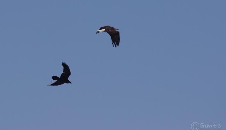eagle_ravens-1833