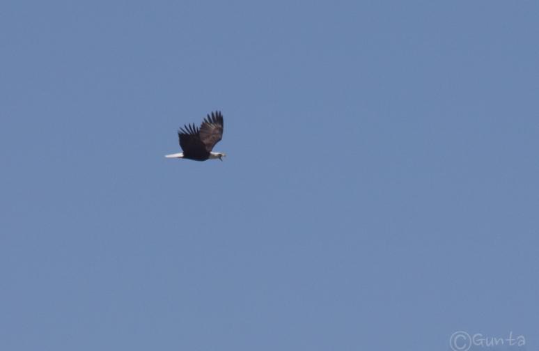eagle_ravens-1835