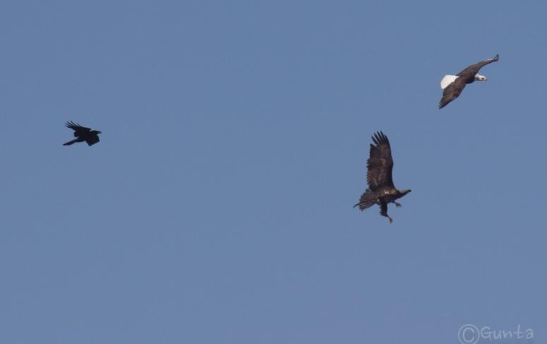 eagle_ravens-1839