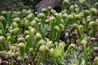 A carnivorous California pitcher plant.