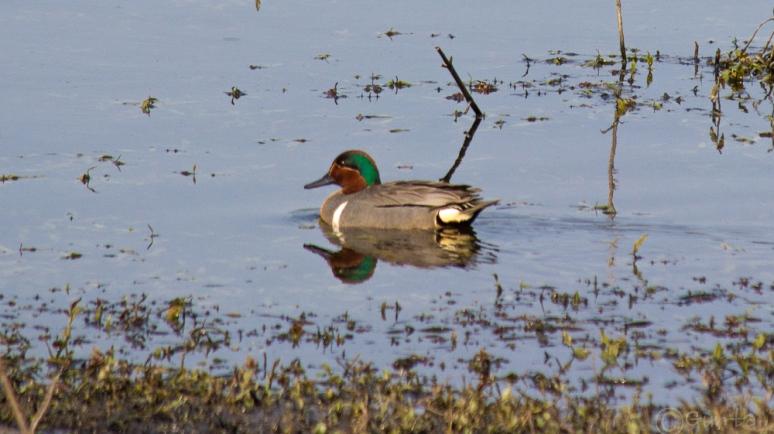 ducks-1994