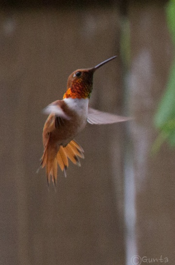 Rufous - male with flared tail, being aggressive