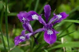 A wild iris