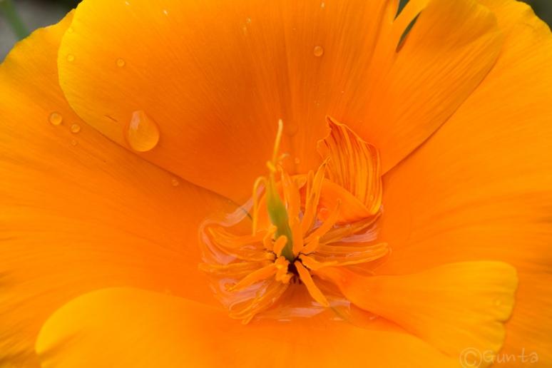 poppy-4072