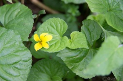 A yellow violet