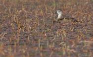 Ring-necked Duck -female