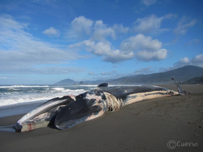 blue_whale-0496