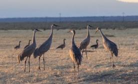 cranes-5495