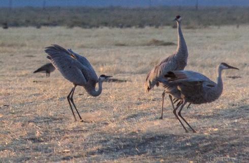 cranes-5499