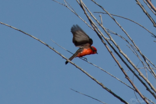 vermillion_flycatcher-7688
