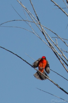vermillion_flycatcher-7689