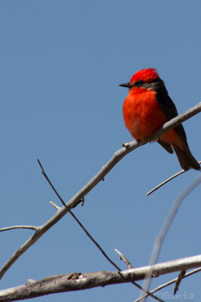 vermillion_flycatcher-7779