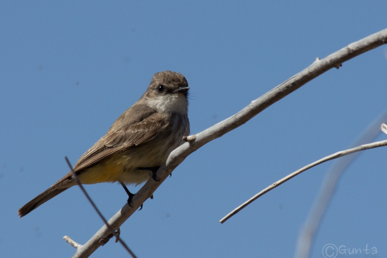 vermillion_flycatcher-7782