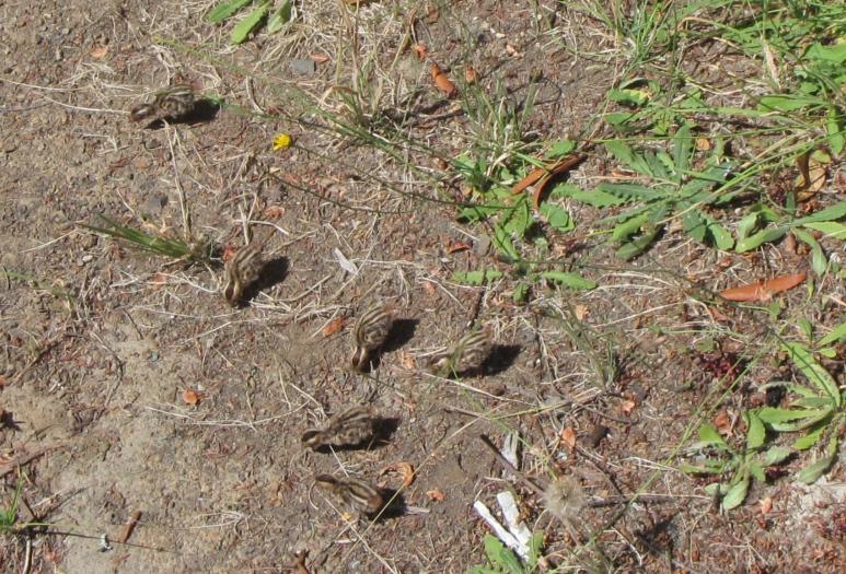 quail-1052