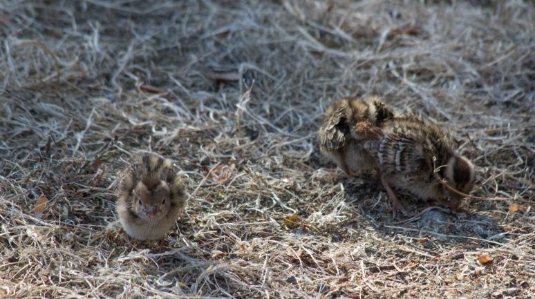 quail-8941