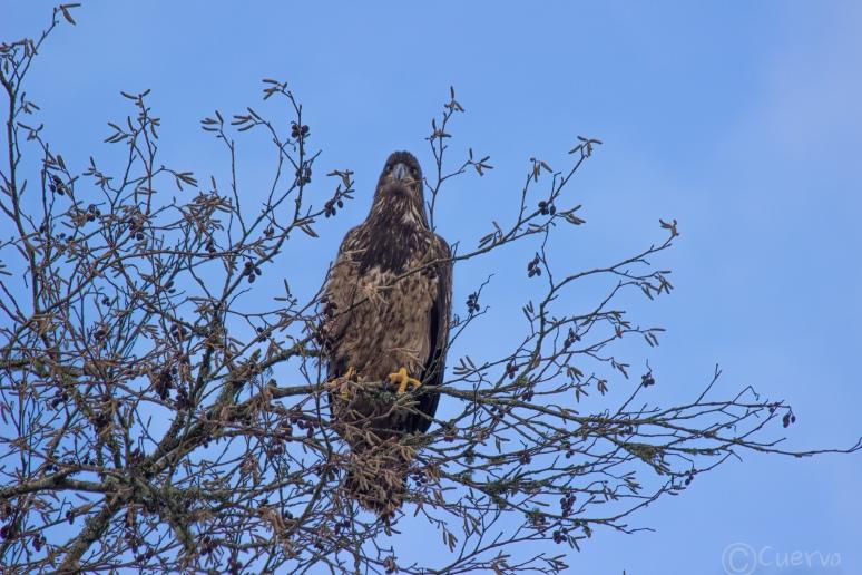 eagle-0233