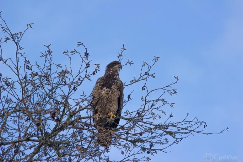 eagle-0234